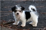 Picture of Beautiful male Morkie - Petey
