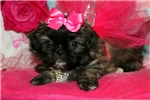 Picture of Female Pek-a-tzu FOR SALE