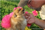 Picture of Beautiful Little Pom female - Milly