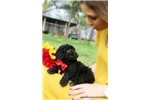 Picture of Beautiful male Miniature Poodle - Twilight