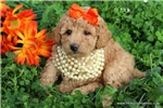 Picture of Beautiful female Miniature Poodle - Sassy Sarah