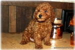 Picture of Beautiful Little male Toy Poodle - Duke