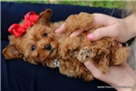 Picture of Beautiful Little Female Toy Poodle - Sweet Ani