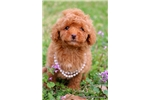 Picture of Beautiful Little Female Toy Poodle - Ruby