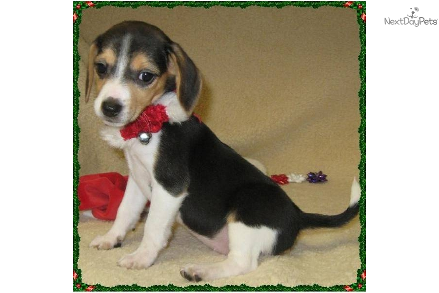 Meet Chi Chi a cute Beagle puppy for sale for $400. AKC ...