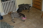 Picture of  3 female German wirehair pointers