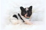 Picture of AKC Tiny Vegas