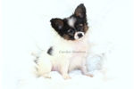 Papillon for sale