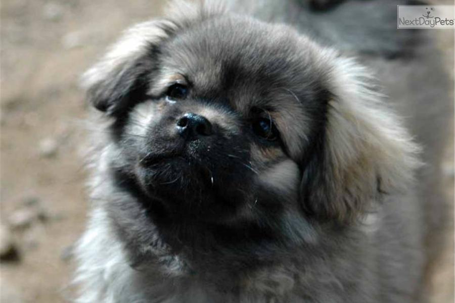 Tibetan Spaniel Puppy For Sale Near High Rockies Colorado