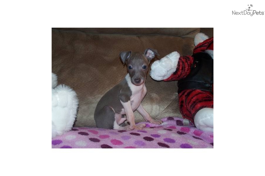 ... puppy for sale for $700. Blue Moon Italian Greyhound shipping included