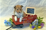 Picture of ADORABLE SMALL AKC MALE