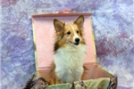 Picture of GORGEOUS SMALL LIGHT SABLE FEMALE AKC