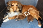 Picture of SWEET AKC SABLE FEMALE