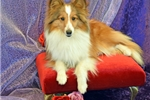 Picture of BEAUTIFUL SMALL AKC SABLE FEMALE