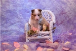 Picture of CHANEL - beautiful light sable female