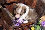Picture of BLASS - handsome light colored sable AKC male