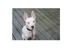Picture of an Ibizan Hound Puppy