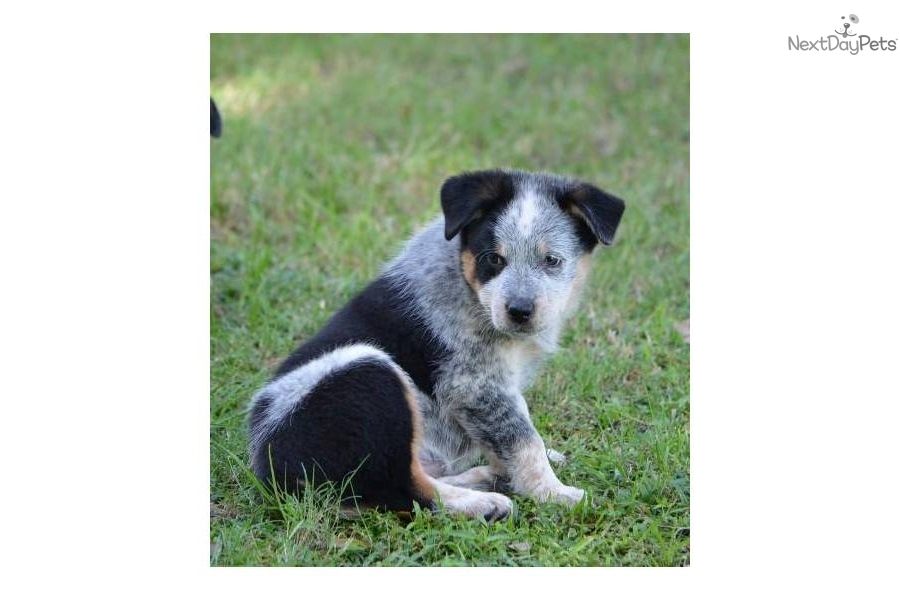 dogs breed australian cattle dog australian shepherd mix age Quotes