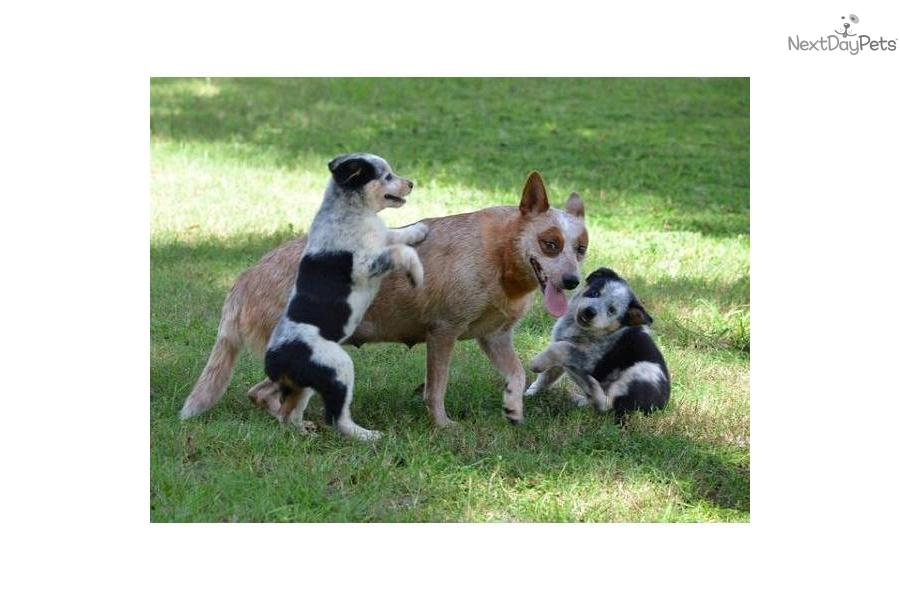 Australian Cattle Dog/Blue Heeler puppy for sale near Ocala, Florida ...