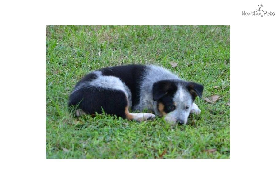 Australian cattle dog blue heeler puppy for sale near ocala florida