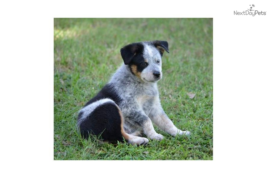 Blue heeler puppy for sale for 350 heeler australian shepherd cross