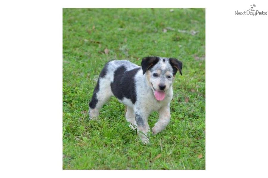 Australian Cattle Dog/Blue Heeler puppy for sale near ...