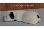 Picture of AKC Registered Rough Coat Female