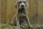 Adorable AKC Weimaraner Puppies | Puppy at 8 weeks of age for sale