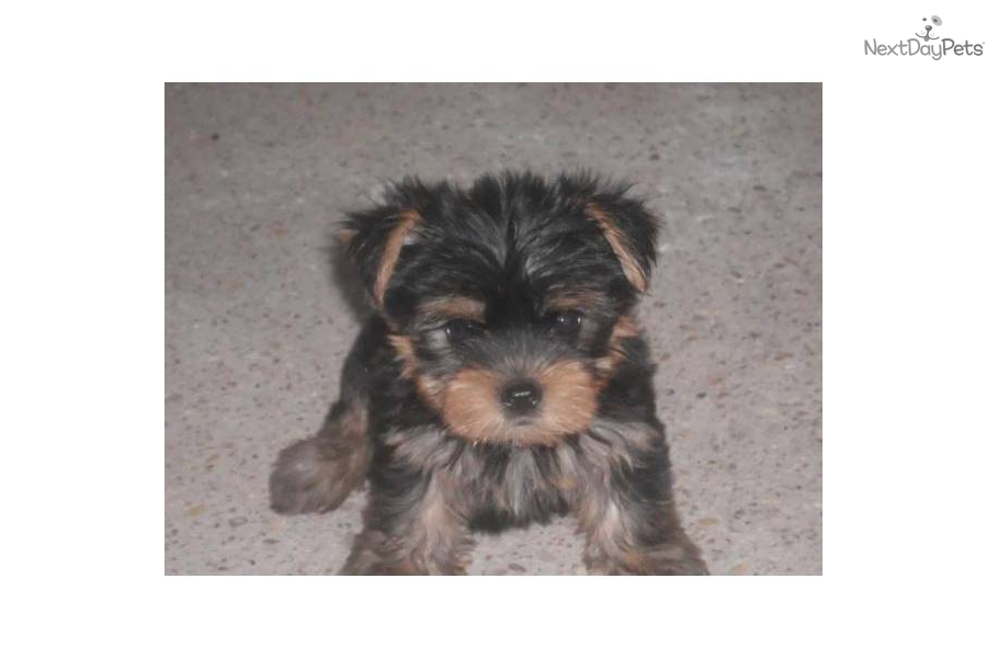 Meet Billy A Cute Yorkshire Terrier Yorkie Puppy For