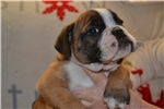 English Bulldog for s