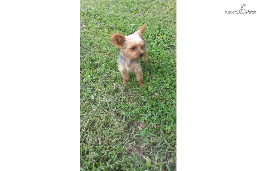Yorkie Puppies Yorkshire Terrier Puppy For Sale In Springfield Mo ...