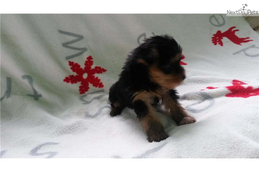 yorkshire-terrier-yorkie-puppy-picture-91756a24-df84-413b-bc21