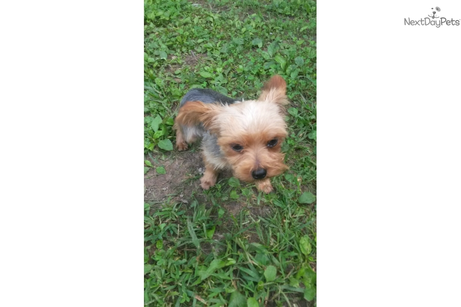 Missouri Yorkie Puppies For Sale Yorkshire Terrier Puppy Breeder Mo ...