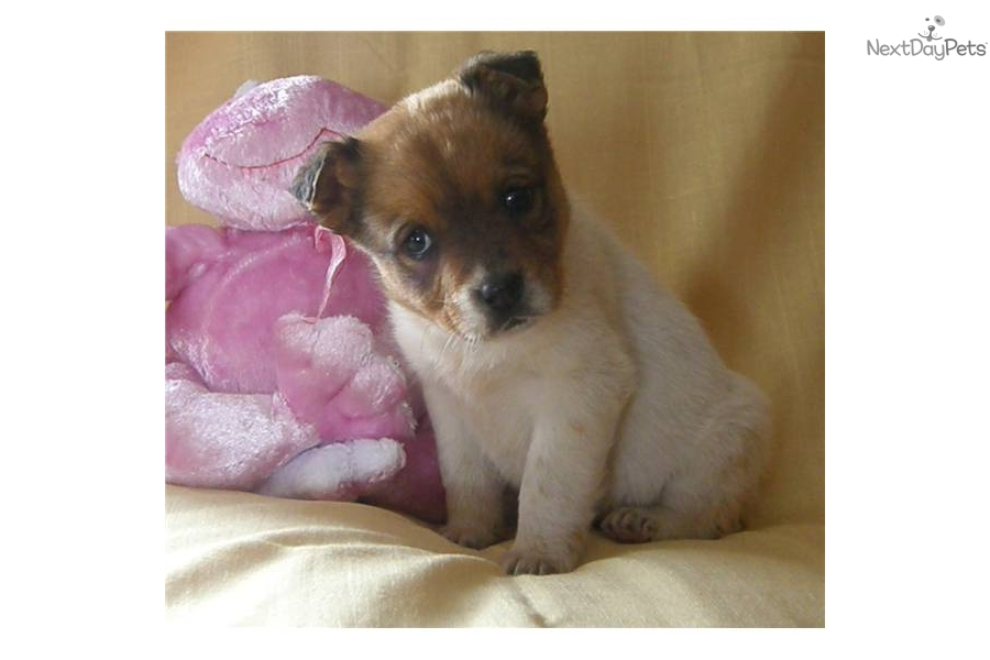 "... Mixed/Other Puppy for ???. St.Bernard & Boxer Mix ""Genovieve"