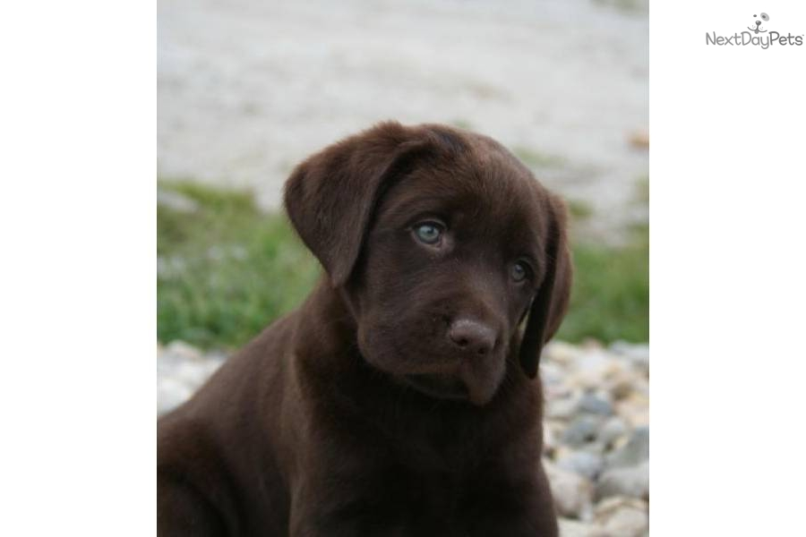 Labrador Retriever Puppy for Sale: AKC Chocolate Puppies - 855a7f07 ...