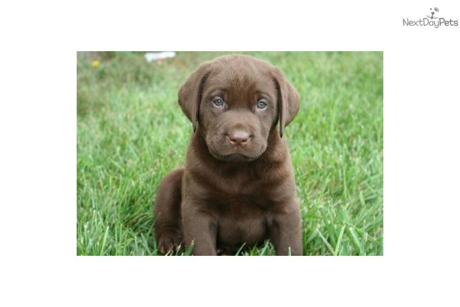 ... Akc Chocolate Labrador Retrievers Labs Male Is A Grey Male Labrador