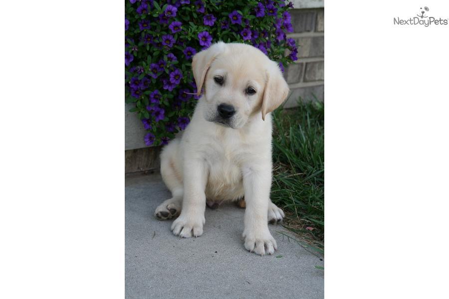 external image labrador-retriever-puppy-picture-d0f1303f-31e1-4d3a-b996-f4064d2a07ba.jpg