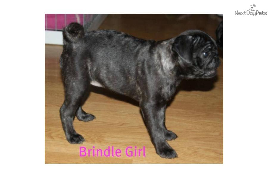brindle-pug-femaledog-pug-puppy-216f122e-c408-4286-a0bf-21e763846024 ...