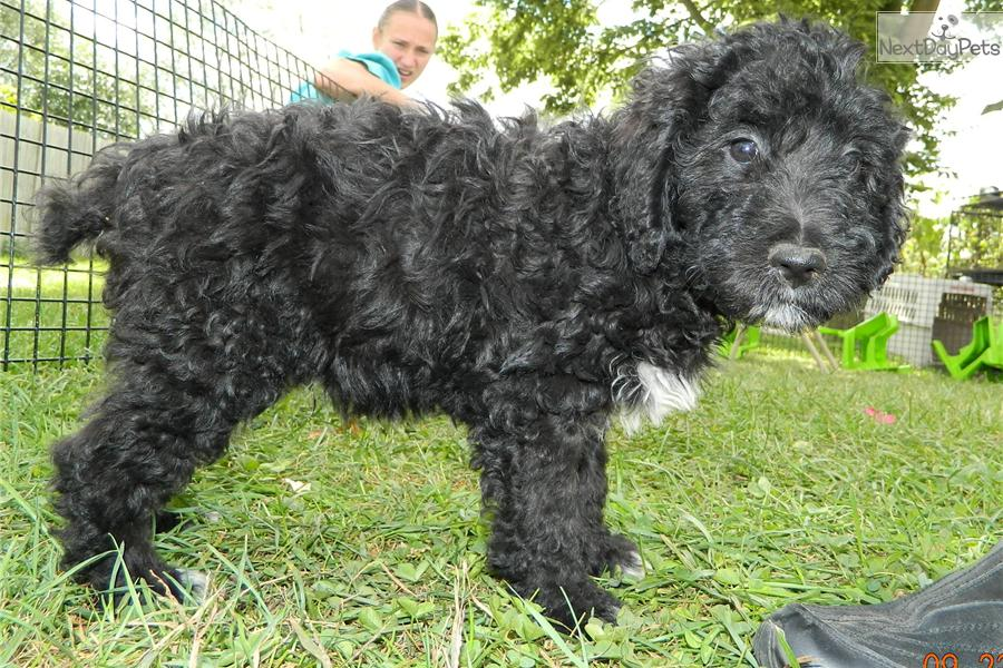 Aussiedoodle full grown aussiedoodle puppy pictures