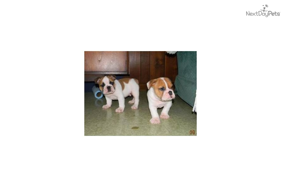 Bully Dog For Sale In Indiana