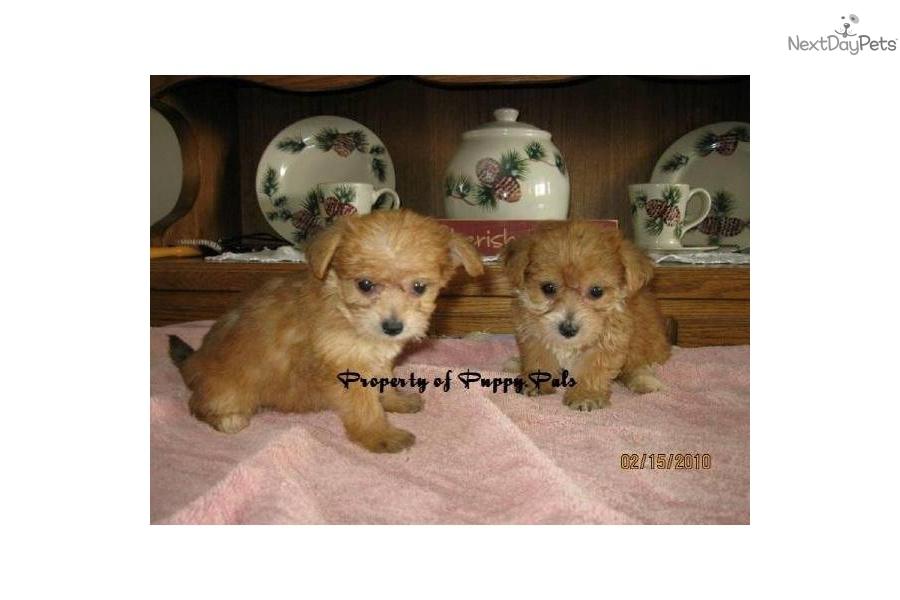little-yorkie-bichon-boys-in-ne-indianadog-yorkiepoo-yorkie-poo-puppy