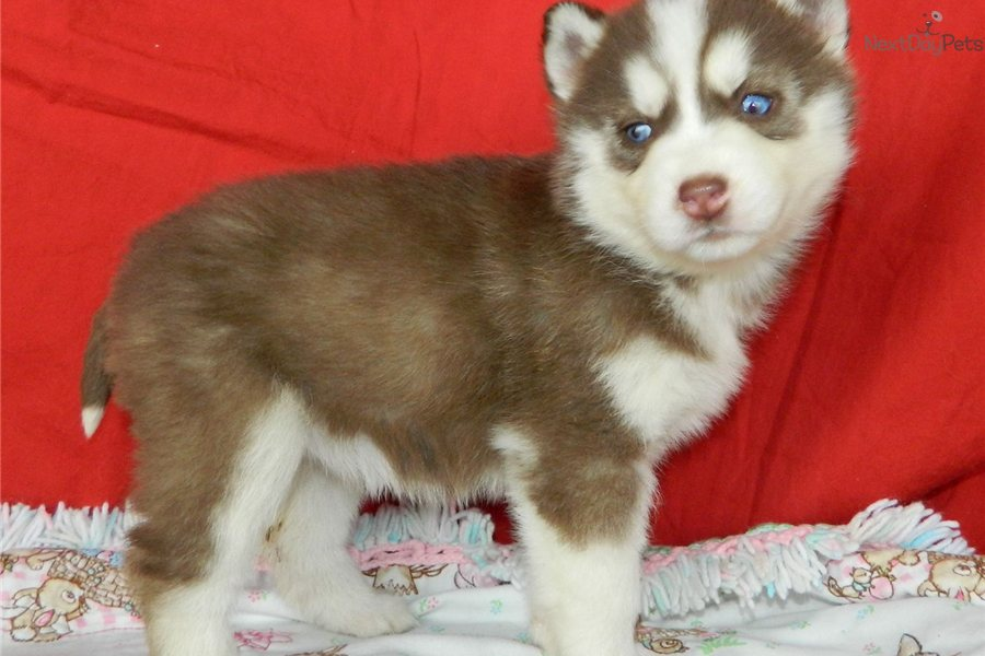 Siberian Husky With Blue And Brown Eyes Pretty blue eyed husky girl