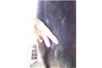 Picture of Ber/Newf female (Bernewfies) in NE  Ind