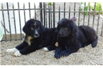 Picture of Ber/Newf male (Bernewfies) in NE  Ind