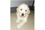 Picture of S&C Cream Retriever Male #1 in Northeast Indiana
