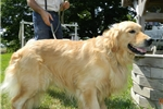 Picture of Handsome Retriever Male #1 in Northeast Indiana