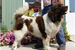 Picture of R&C Landseer Newf M in NE Ind