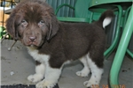 English Setter for sale