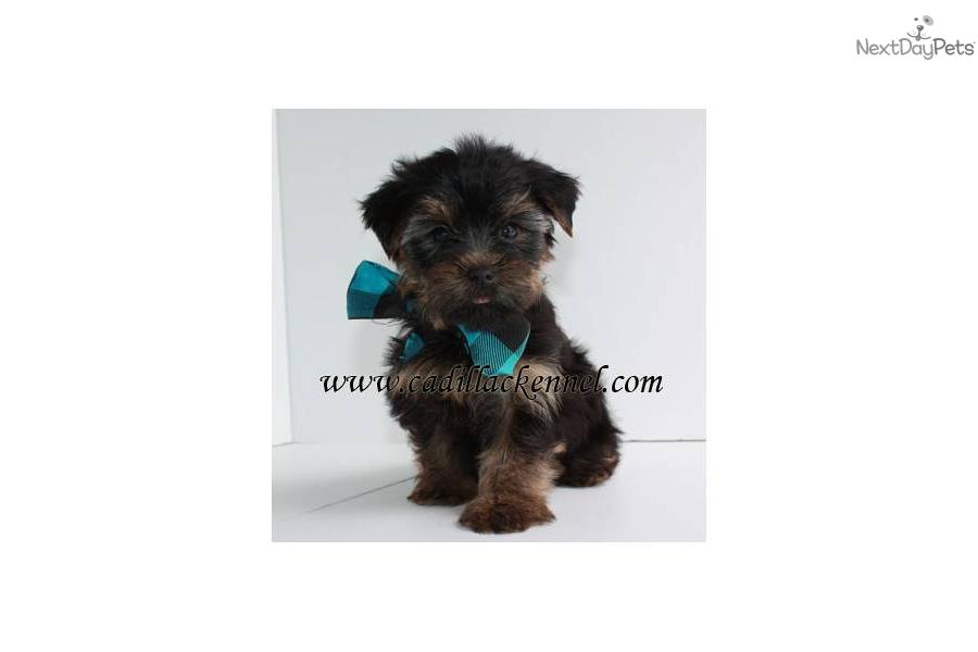 Yorkshire terrier yorkie puppy for sale near springfield missouri