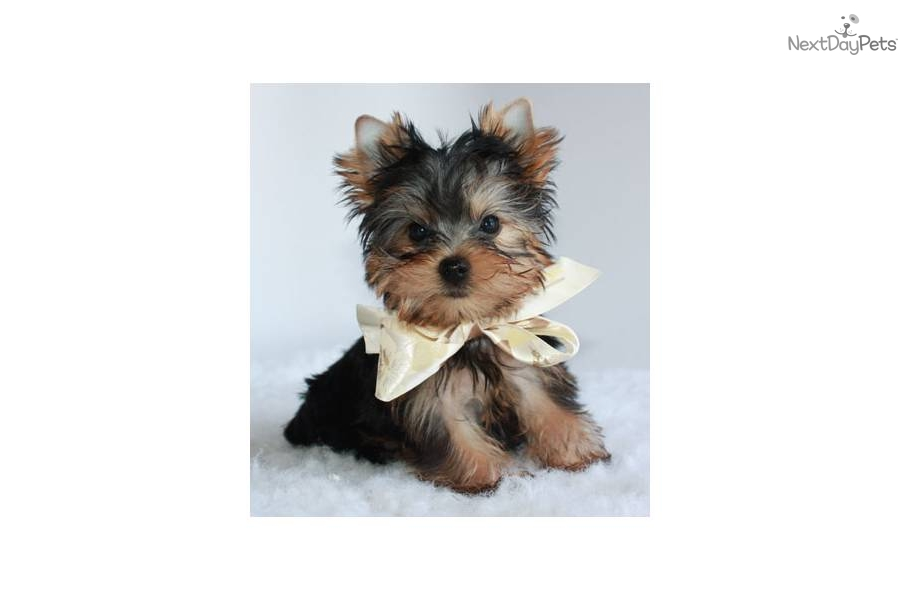 gadgetakc-toy-yorkiefree-shippingdog-yorkshire-terrier-yorkie-puppy